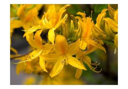 Fototapeta - Close-up of yellow azalea