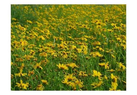 Fototapeta - Pole żółtych kwiatów